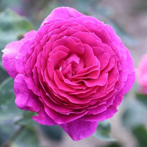 Роза Биг перпл (Чайно-гибридная)
