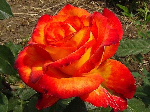 Роза Циркус (Флорибунда) 3л