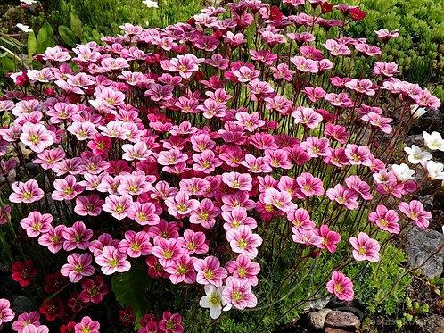 Камнеломка Арендса розово-красная