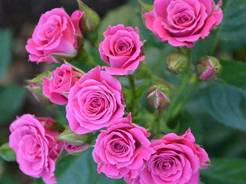 Роза Сиёхранг мини (Спрей)