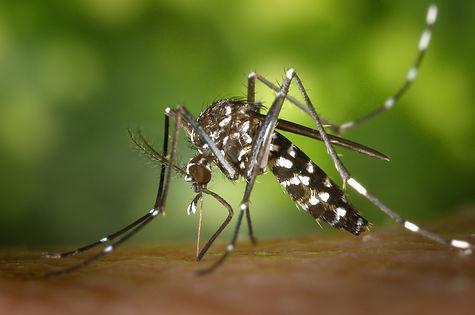 CDC-Gathany-Aedes-albopictus-1.jpg