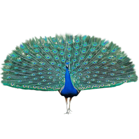 peacock-clipart-transparent-background-1