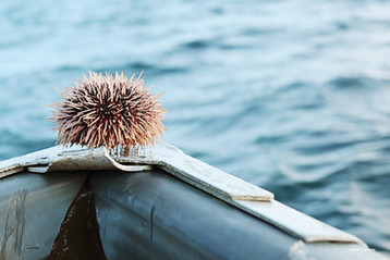 Sea Urchin on a boat in the Arctic