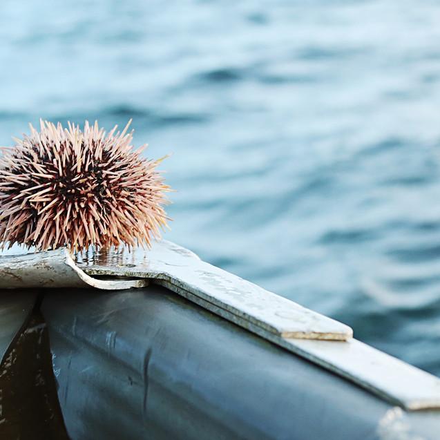 Sea Urchins in Lofoten