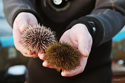 Sea urchins held in hand