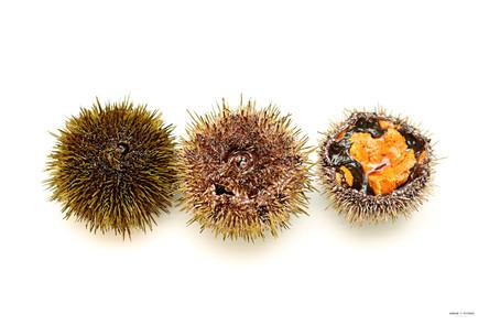 Sea urchin opened with beautiful roe