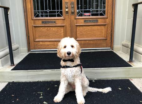 Meet Angelo, SUA's Therapy Dog