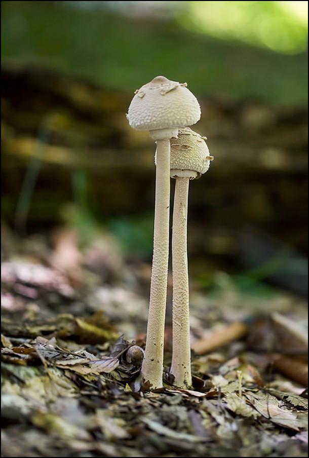 Macrolepiota mushrooms