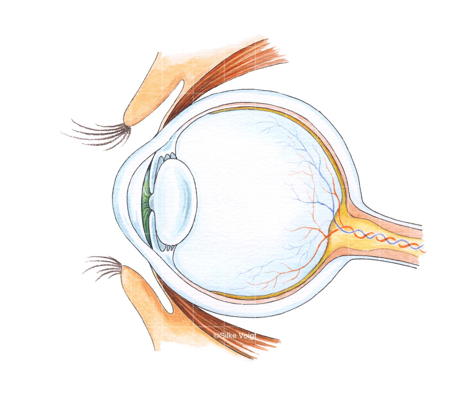 Auge Silke Voigt