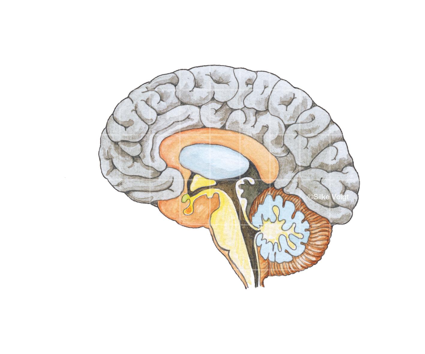 Gehirn Silke Voigt