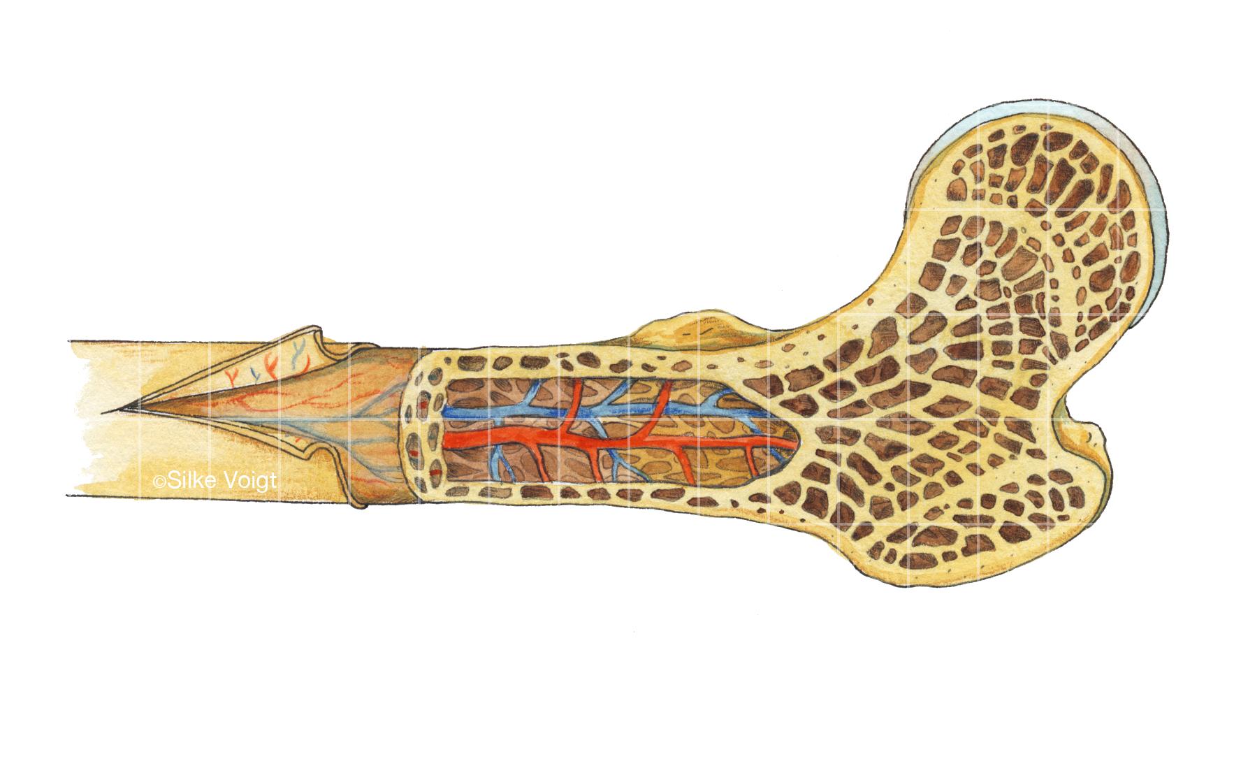 Knochen Silke Voigt