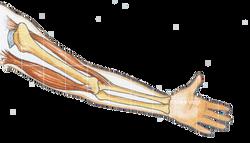 Muskel Silke Voigt