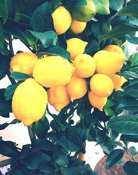 Lemon%20Tree_edited.jpg