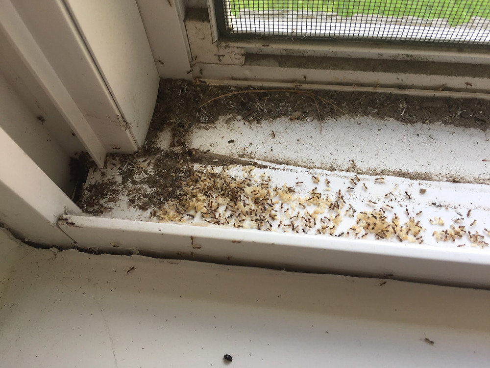 ant infestation, pest control, north texas pests