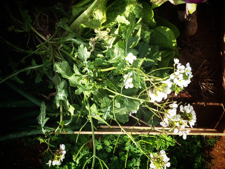 Edible Weeds : Argula