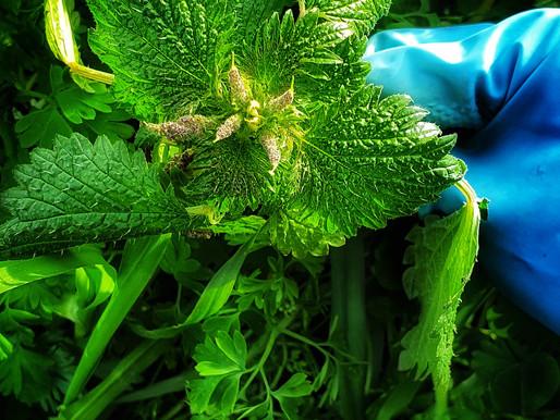 Edible Weeds : Nettle