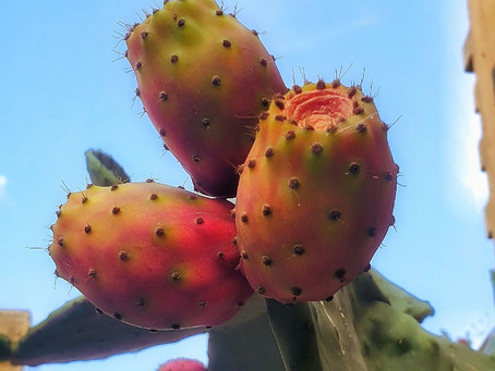 Why Prickly Pear is a national obsession ?