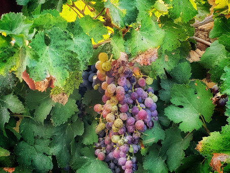 Why we feel its special to have local wine in Malta ?