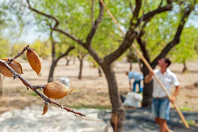 Harvesting-almonds-by-shaking-branches.j