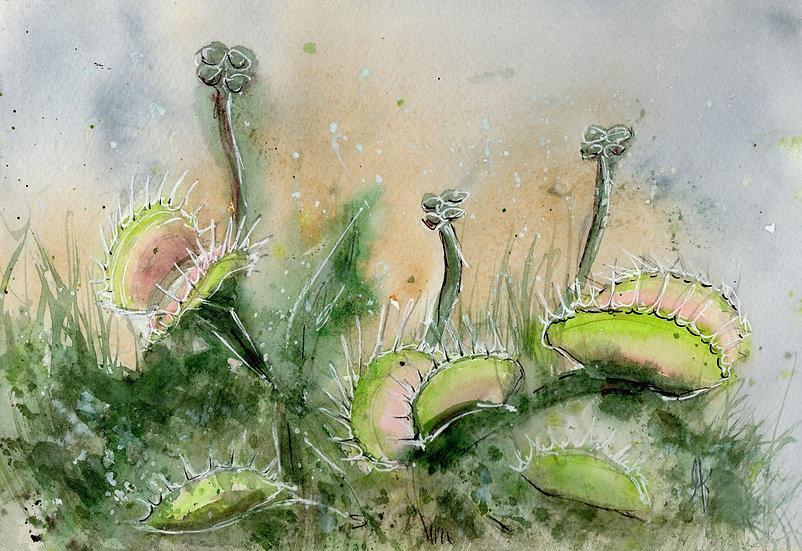 venus flytraps