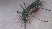 Aquecimento global melhorou capacidade do Aedes de transmitir dengue