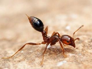Mais de 2 mil formigas-de-fogo são encontradas dentro de contêiner vindo da China