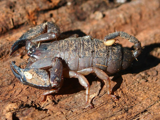 Escorpiões podem adaptar o próprio veneno dependendo da ameaça