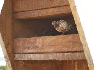 No DF, 40% dos casos de doença do pombo terminam em morte