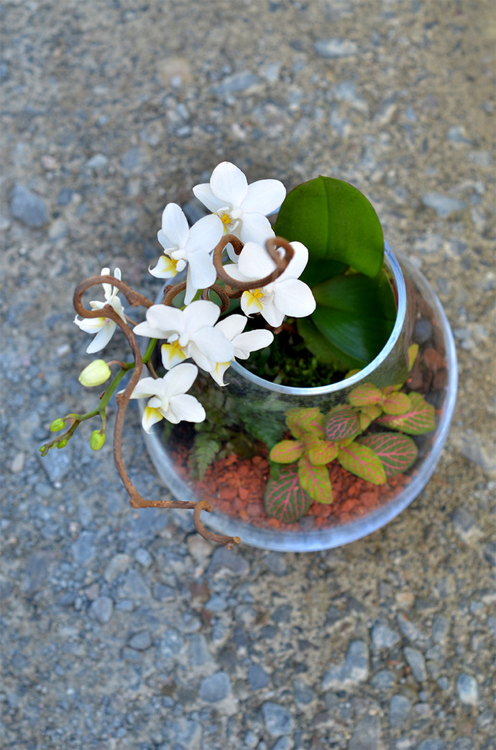 Terrarium Orchidee Phalaenopsis blanche