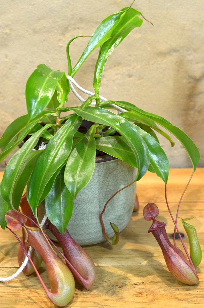 Nepenthes plante originale carnivore