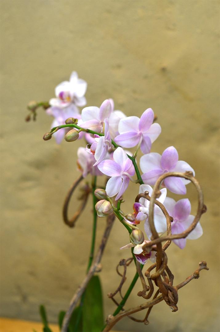 Orchidee wild rose