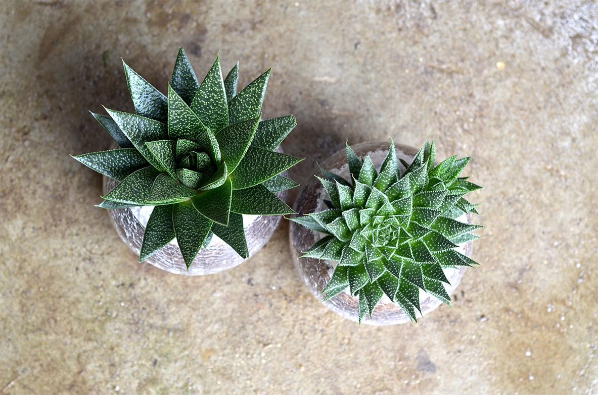 Terrarium Aloe vera humilis