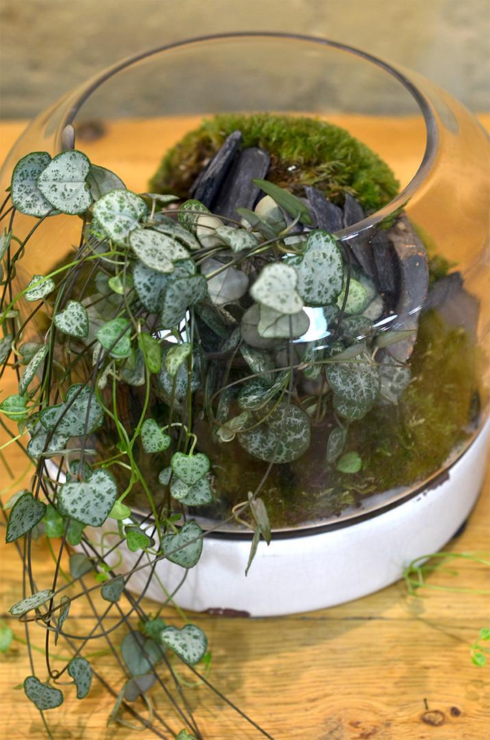 Plante originale retombante Chaîne des coeurs Ceropegia