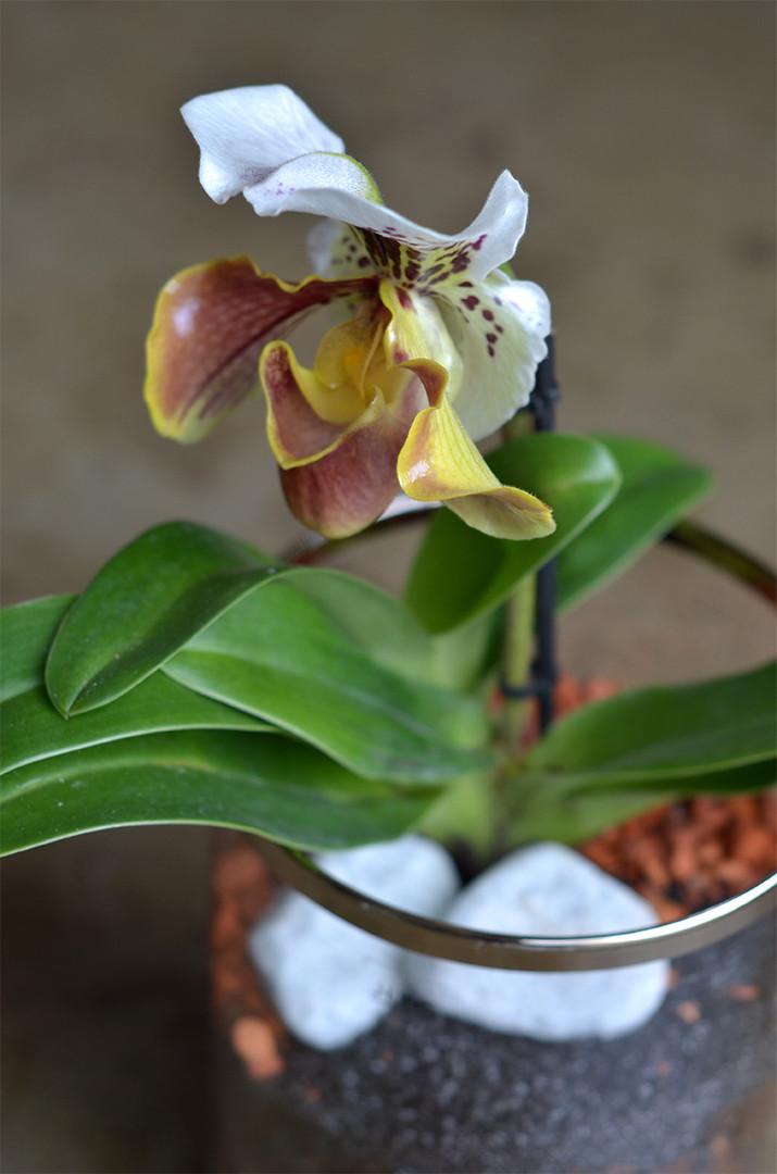 Plante originale Orchidée Sabot de Vénus Paphiopedilum
