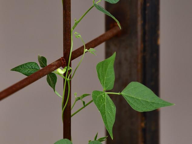 """""""Tepary Bean Flower"""""""