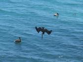 "Diving!  A Pelican Takes a Dive Beak First"""