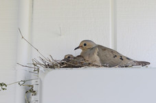 """""""Mourning Doves"""""""