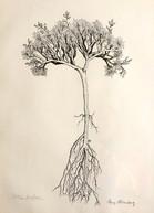 Cusickiella douglasii, Brassicaceae family