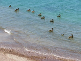 """""""Swimming - Citizens of Sonora (Pelicanos) Swimming in the Sea of Cortez"""""""