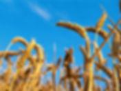 Wheat_edited.jpg