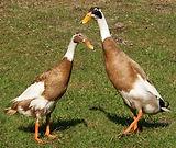 1200px-Runner-ducks.jpg
