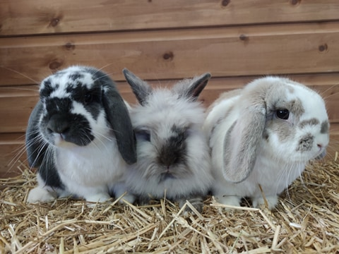 Flopsy, Mopsy + Cottontail