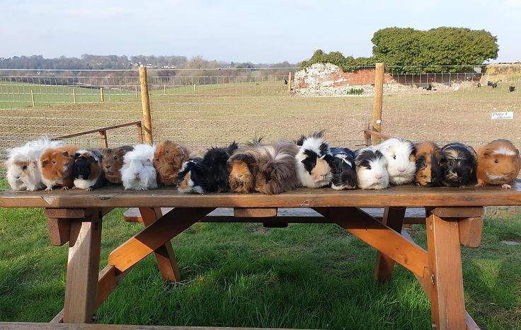 Guinea pig line up.jpg