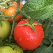 Dulwich tomato.jpg