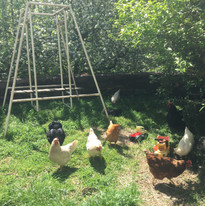 Chickens_Dulwich October 2020.jpg
