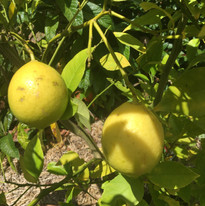 Dulwich lemons.jpg