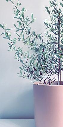 OLIVE TREE 200MM & MINIMALIST POT 240MM
