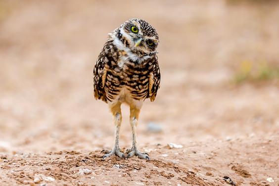 Howdy Owl