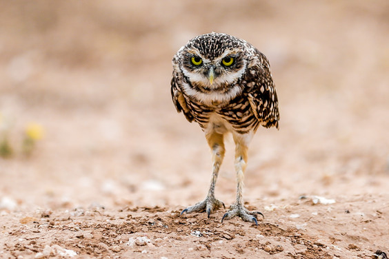 The Glare of a Burrowing Owl