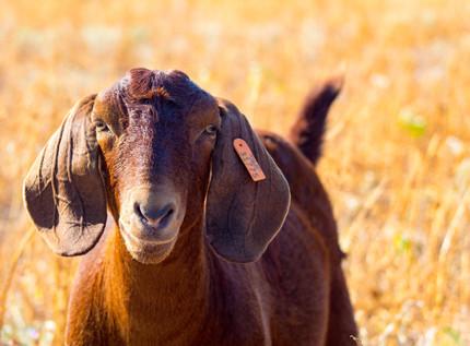 One Happy Goat